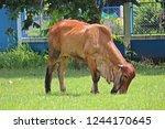 the brown cow is standing in... | Shutterstock . vector #1244170645