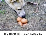 A Dog Sniffing Eggs On Hay