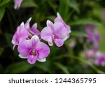 close up purple orchid in the... | Shutterstock . vector #1244365795