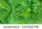 close up of green leaf texture... | Shutterstock . vector #1244365798