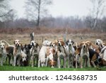 Pack Of Hunting Hounds Waiting...