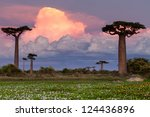 baobab alley  madagascar pink... | Shutterstock . vector #124436896
