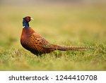 ringneck pheasant  phasianus... | Shutterstock . vector #1244410708