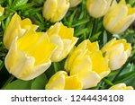 springtime flowers yellow tulips   Shutterstock . vector #1244434108