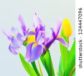 Fresh spring tulips and iris flowers  on bluish background. selective focus - stock photo