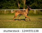 brown dog belgian malinois with ... | Shutterstock . vector #1244551138