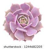 Echeveria Lola Succulent...