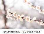 white plum blossom  photo... | Shutterstock . vector #1244857465