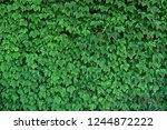 natural hedge background. close ... | Shutterstock . vector #1244872222