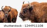 Bison Bonasus   European Bison  ...