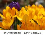 finally spring   detail view of ... | Shutterstock . vector #1244958628