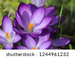 finally spring   detail view of ... | Shutterstock . vector #1244961232