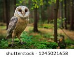 barn owl  tyto alba  sitting on ... | Shutterstock . vector #1245021658