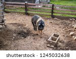 A Pig With Black And White In...