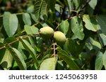 ripening walnuts in walnut tree ... | Shutterstock . vector #1245063958