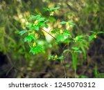 blooming branch of alpine... | Shutterstock . vector #1245070312