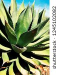agave  cactus  arizona sonora... | Shutterstock . vector #1245102082