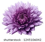 Flower Purple Motley Dahlia....