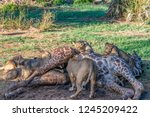 lion cubs feasting on a carcass ... | Shutterstock . vector #1245209422