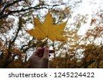 Yellow Maple Leaf In Fall Season