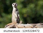 Meerkat  Aka Suricate  Sitting...