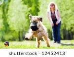 Running dog on green grass and ball (Irish soft coated wheaten terrier) - stock photo