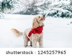 Stock photo cute and funny little dog with red scarf playing and jumping in the snow happy puddle having fun 1245257965