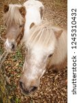 two ponies  close up  shetland... | Shutterstock . vector #1245310432
