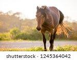 a wild pony  equus caballus  at ... | Shutterstock . vector #1245364042