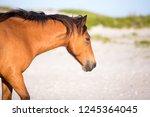 a wild pony  equus caballus  at ... | Shutterstock . vector #1245364045