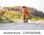 a wild pony  equus caballus ... | Shutterstock . vector #1245364048
