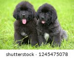 Two Small Black Puppies Of...