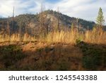 Calcined Pine Tree Forest Years ...