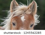 a single adult brown horse with ... | Shutterstock . vector #1245562285