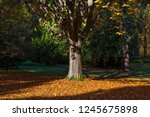 lonely tree in stanley park | Shutterstock . vector #1245675898