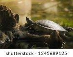 mangrove terrapin  river... | Shutterstock . vector #1245689125