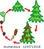 spruce tree life cycle. stages... | Shutterstock .eps vector #1245713518