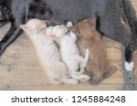 Stock photo top view of two white kitten and one brown kitten feeding with milk from her mom black cat on wood 1245884248