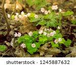 delicate flowers of wood sorrel ... | Shutterstock . vector #1245887632