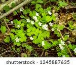 delicate flowers of wood sorrel ... | Shutterstock . vector #1245887635