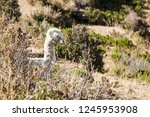 typical bolivian llama on the... | Shutterstock . vector #1245953908