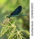view on a beautiful demoiselle... | Shutterstock . vector #1246061815