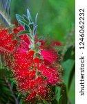 a red colour spiky bottlebrush... | Shutterstock . vector #1246062232