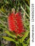 a red colour spiky bottlebrush... | Shutterstock . vector #1246062235