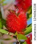 a red colour spiky bottlebrush... | Shutterstock . vector #1246062238