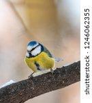 eurasian blue tit  cyanistes... | Shutterstock . vector #1246062355