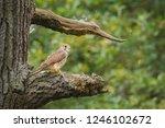 common kestrel sitting on a... | Shutterstock . vector #1246102672
