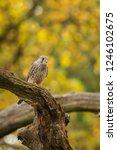 common kestrel sitting on a... | Shutterstock . vector #1246102675