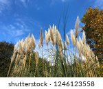 close up common reed  common...   Shutterstock . vector #1246123558