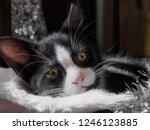 close up view of black kitten... | Shutterstock . vector #1246123885